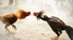 Judi Sabung Ayam di Desa Ganjarsabar Kabupaten Bandung Digrebek