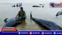 Puluhan Ikan Paus Mati Terdampar di Bibir Pantai Modung Bangkalan